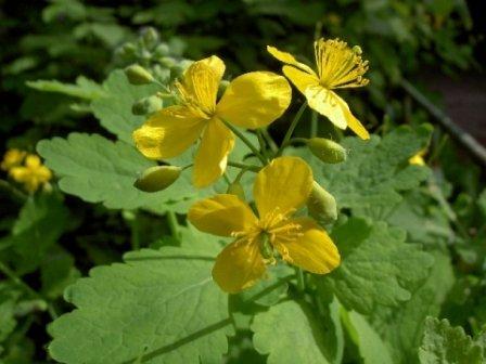 Чудо-цветок от бородавок