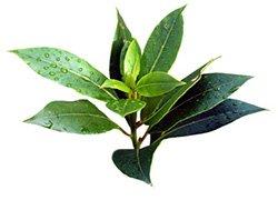 Учимся использовать масло чайного дерева от прыщей фото