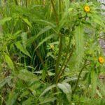 Череда от прыщей: свойства целебного растение, воздействие на кожу, противопоказания