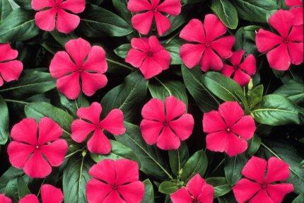 Поможет залечить раковые язвы корень катарантуса розового