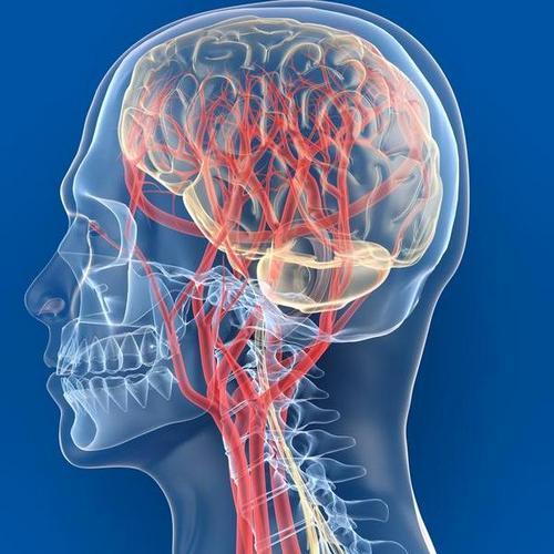 Мозг кровоснабжается густой сосудистой сетью из каротидного и вертебро-базиллярного бассейна.