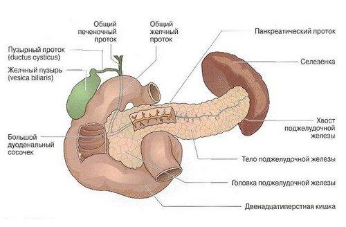 Поджелудочная железа строение и анатомия