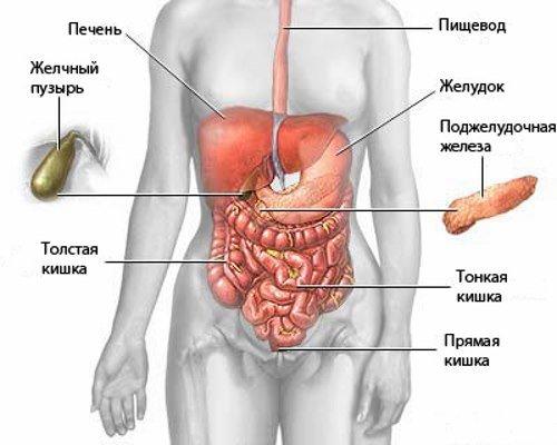 Внутренние органы, исследуемые УЗИ брюшной полости