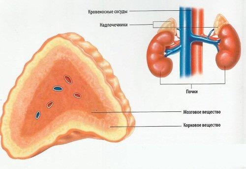 Функции надпочечников – выработка гормонов