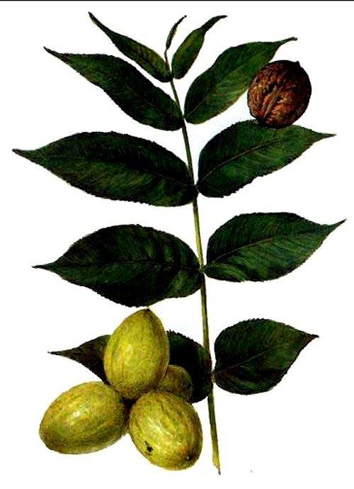 листья грецкого ореха при воспаленных лимфоузлах