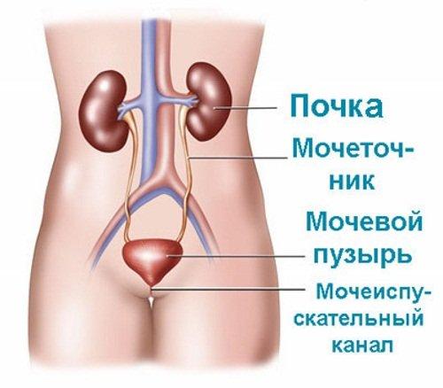 Мочевыводительная система женщины