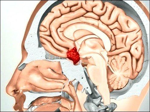 Гипофиз производит контроль работы всех эндокринных желез