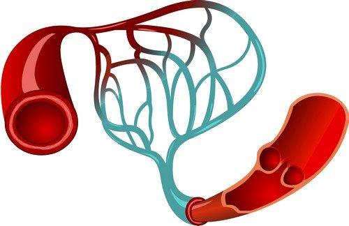 Сердечно-сосудистая система осуществляет циркуляцию крови в организмах млекопитающих