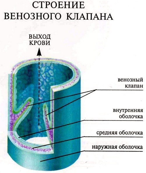 Строение клапанной системы сосудов