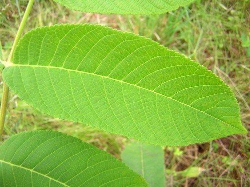 Листья ореха при геморрое