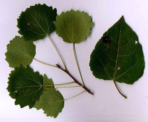 Лечение геморроя при помощи зелёных листов осины