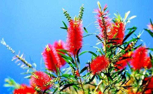 Растение красная щетка помогает привести в норму гормональный фон
