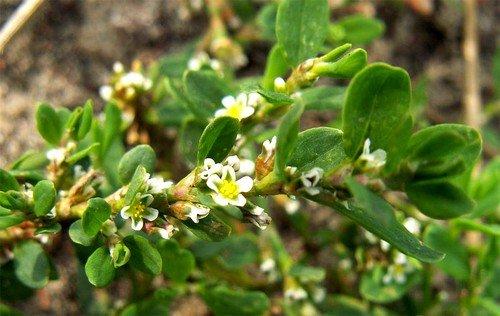 средство на основе травы Горец птичий (спорыш) является отхаркивающим и противовоспалительным