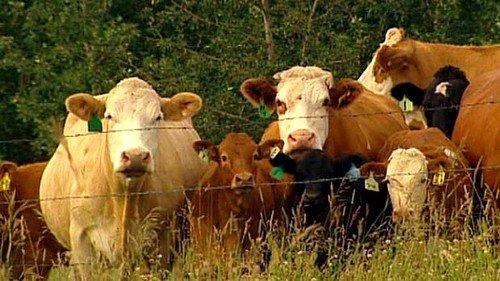 Основной источник заболевания - домашний скот