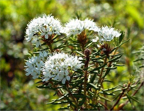 Лечебные свойства и противопоказания к использованию багульника болотного фото