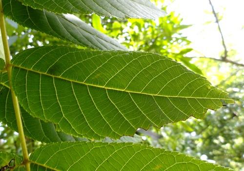 Настойка листьев грецкого ореха полезна при панкреатите