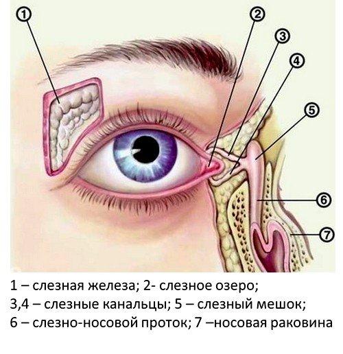 Механизм выработки слез
