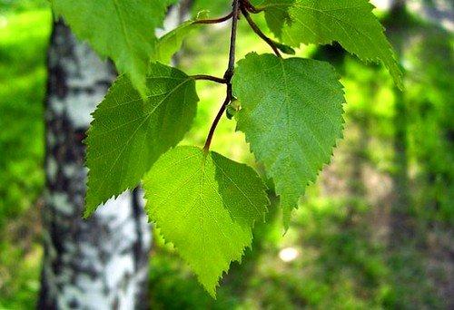 Большой популярностью пользуется настой из листьев березы