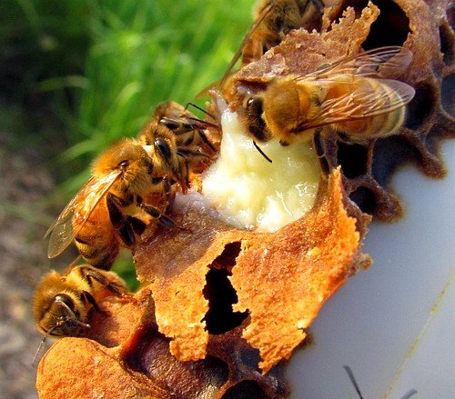 Ученые считают, что именно за счет употребления уникального корма пчелиная матка живет более 5 лет