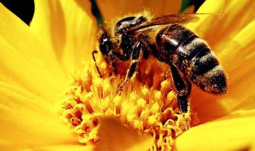 Качественный пчелиный корм по количеству и разнообразию аминокислот в составе близок к куриному яйцу, животному мясу и молоку