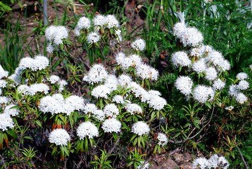 Несмотря на ядовитость, растение представляет большой интерес для приверженцев народной медицины