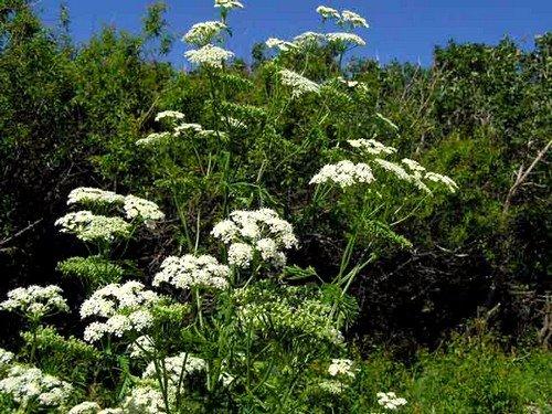 Лучше всего изготавливать настойки и мази из свежих растений