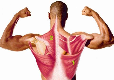 Широчайшая (1) и трапециевидная (2) мышцы спины