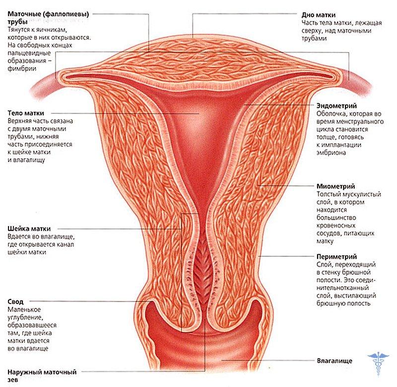 Здоровая матка женщины