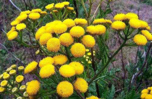 Эфирное масло растения активно действует против остриц и аскарид