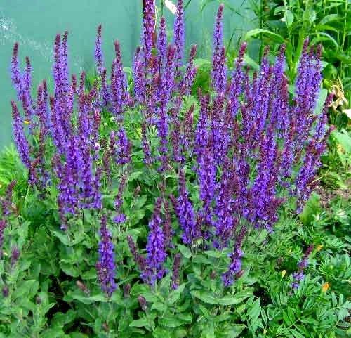 Колосовидные соцветия шалфея фиолетовые