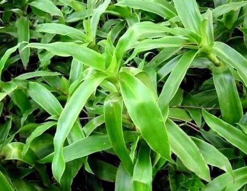 Растение Золотой ус: его лечебные свойства и противопоказания фото