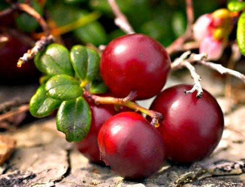 Одним из древнейших средств против холестерина в сосудах являются клюквенные ягоды