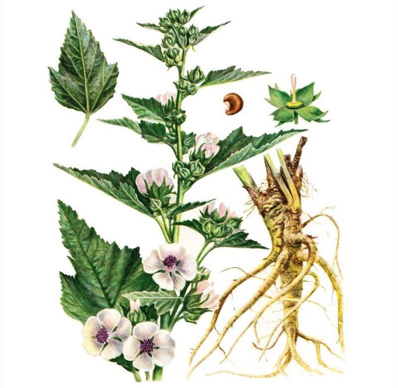 Народная медицина рекомендует от рубцов отвар из корня алтея