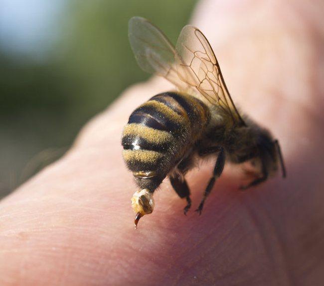У некоторых людей обычный укус пчелы вызывает анафилактический шок