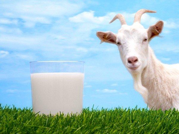 Бывает ли аллергия на козье молоко – зависит исключительно от конкретного человека