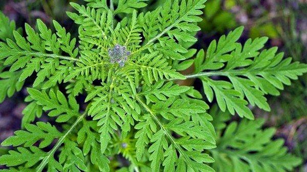 Амброзия – это сорное растение, вызывающие у многих людей сильнейшую аллергию в период своего цветения