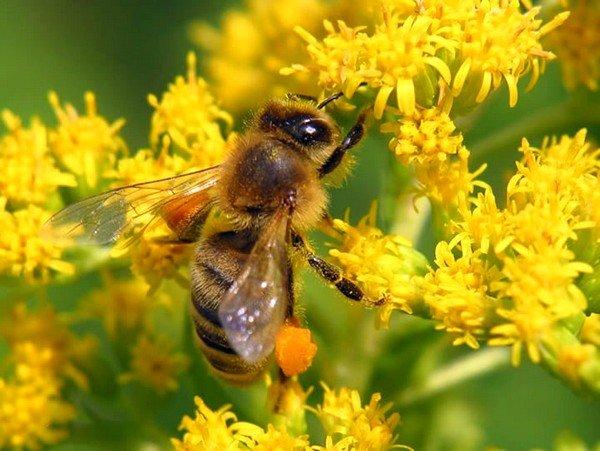 Пчелиная пыльца, собранная весной, станет хорошей профилактической защитой для ослабленного после зимы организма