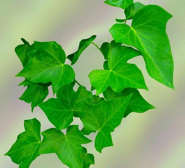 Сироп содержит экстракт листьев плюща