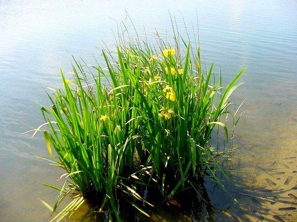 Аир болотный в корнях имеет несколько алкалоидов, подавляющих рост болезнетворной микрофлоры и стимулирующих органы внутренней секреции