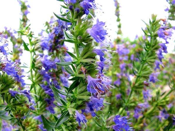 В состав препарата Линкас входит экстракт листьев иссопа