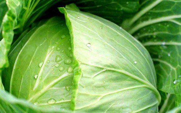 Приложенный лист белокочанной капусты, смазанный пчелиным мёдом, создаст необходимый тепловой эффект при лечении сухого кашля