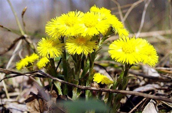 Цветки и листья мать-и-мачехи применяются при кашле