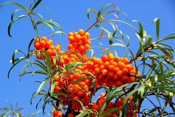 В Древнем Риме и Египте ягоды применяли для заживления ран, полученных в боях