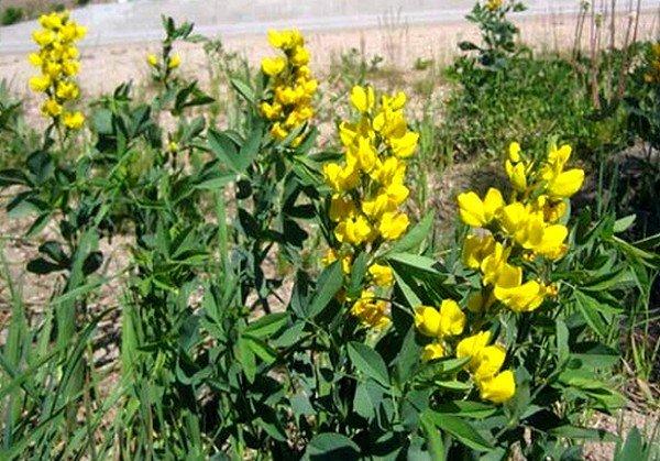 Трава термопсиса способствует раздражению рецепторов кашлевого центра