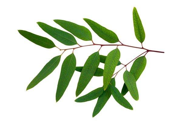 Для ингаляций с Валидолом можно также использовать листья эвкалипта