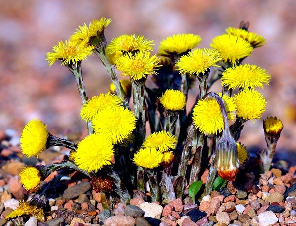 Для облегчения процесса откашливания можно приготовить настойку из цветов, почек и листьев мать-и-мачехи