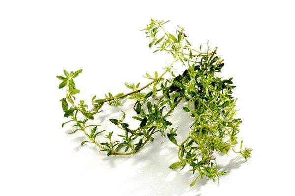 У тимьяна лекарственным сырьем является наземная часть растения