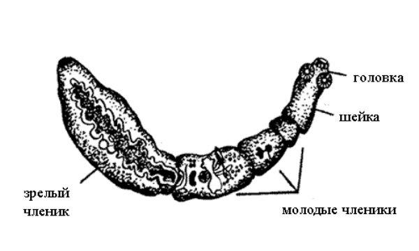 Строение эхинококка
