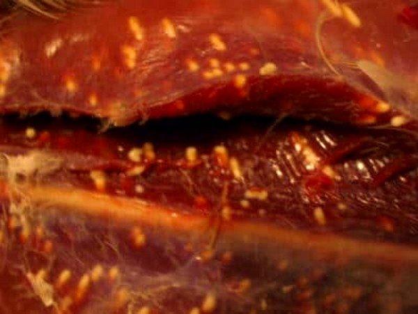 Финны имеют чрезвычайную подвижность и могут, проникая через кишечную стенку, курсировать по всему организму животного