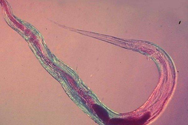 Данный вид паразитов является одним из наиболее распространенных